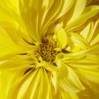 Yellow aster — Stock Photo