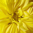 Stock Photo: Yellow aster