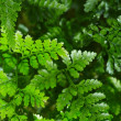 Fern — Stock Photo #40668531