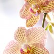 Beautiful yellow orchids — Stock Photo