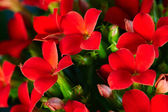 Red geranium — Foto de Stock