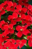 Geranium blommor — Stockfoto