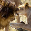 Love of two lions - Stock Photo