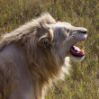 White lion roaring — Stock Photo