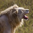 White lion roaring - Stock Photo