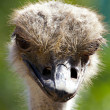 Camel bird portrait - Stock Photo