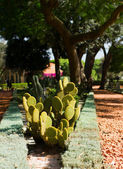 Cactus in Bahai garden — Stock Photo