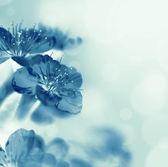 Macro sakura flowers — Stock Photo