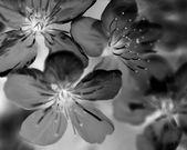 Bloomingr cherry flowers — Stock Photo