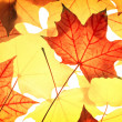 Pattern from  maple foliage — Stock Photo #50386363
