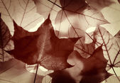 Pattern from monochrome   maple leaves — Foto Stock