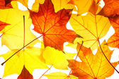 Pattern of  maple foliage — Stock Photo