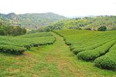 Plantação de chá — Foto Stock
