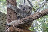 Koala — Stockfoto