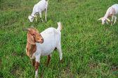Goat farm — Stock Photo