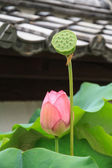 Lotus and lotus seed — Stock Photo
