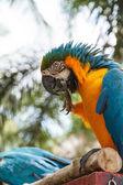 オウムのコンゴウインコ — ストック写真