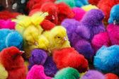 Pollo de color — Foto de Stock