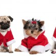 Group of dogs in a row dressed as Santa Claus in front of white background — Stock Photo #10886330