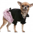 Chihuahua dressed in pink and black, 2 years old, standing in front of white background — Stock Photo #10896354