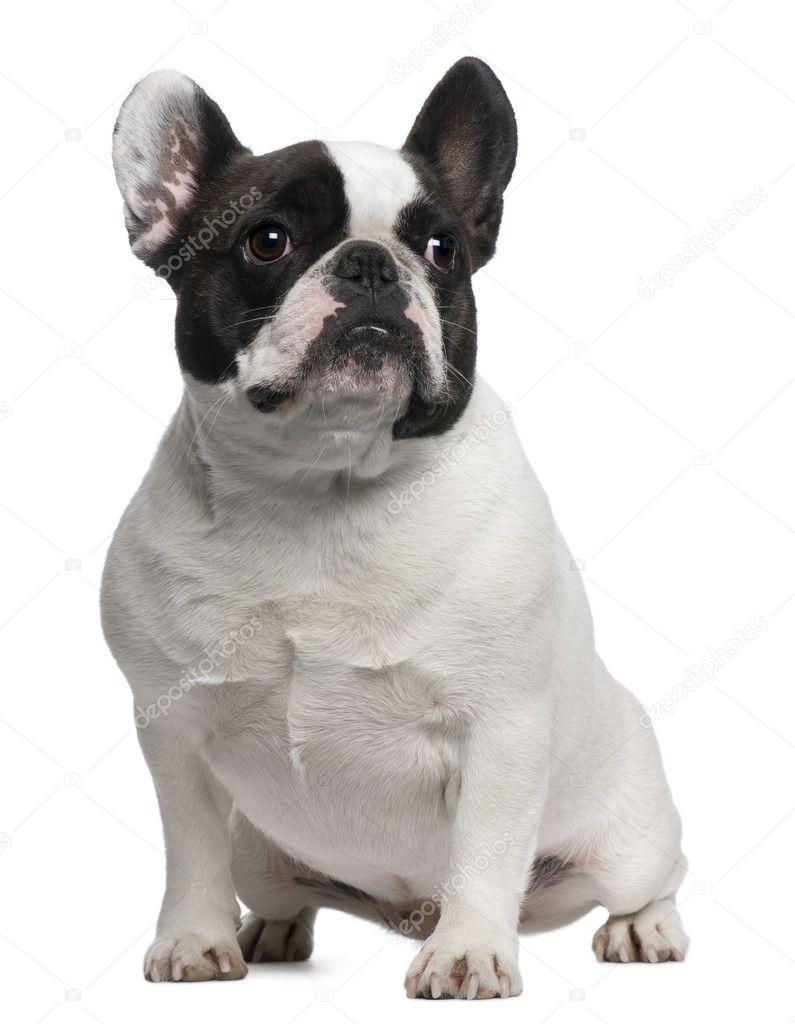 Bulldog francés, 3 años de edad, sentado frente a fondo blanco ...