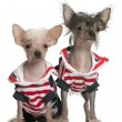 Chinese Crested puppy, 4 months old, and Chinese Crested Dog, 4 years old, dressed in red white and blue in front of white background — Stock Photo #10901690