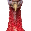 Portrait of Red Ardenner turkey against white background — Stock Photo #16981801