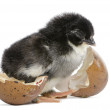 Marans chick, 15 hours old, standing next to the egg from which he hatched out against white background - Stock Photo