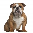 English Bulldog, 10 months old, sitting against white background — Stock Photo #16985049