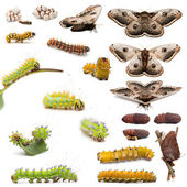 Complete evolution of Giant Peacock Moth, Saturnia pyri, against white background — Stockfoto