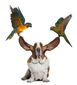 Bleu throated Macaw and Golden capped parakeet pulling up the ears of Basset Hound sitting against white background — Stock Photo