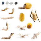 Complete evolution of silkworm, Bombyx mori, against white background — Stock Photo