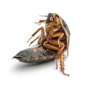 Cockroach sitting against white background — Zdjęcie stockowe