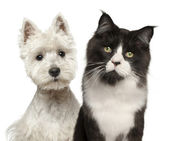 Close-up of Maine Coon cat, 15 months old, and West Highland Terrier against white background — Stock Photo