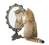 Golden shaded British shorthair, 7 months old, playing with mirror against white background — Stock Photo