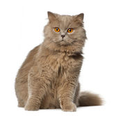 British Longhair sitting against white background — Foto Stock