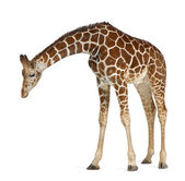Somali Giraffe, commonly known as Reticulated Giraffe, Giraffa camelopardalis reticulata, 2 and a half years old standing against white background — Stock Photo