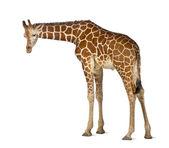 Somali zürafa, retiküle zürafa, zürafa zürafa reticulata, 2 buçuk yaşında ayakta beyaz arka planı olarak bilinen — Stok fotoğraf