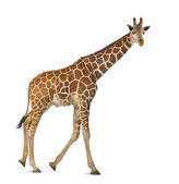 Somali Giraffe, commonly known as Reticulated Giraffe, Giraffa camelopardalis reticulata, 2 and a half years old walking against white background — Stock Photo