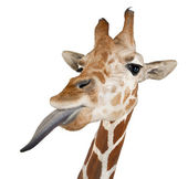 Somali Giraffe, commonly known as Reticulated Giraffe, Giraffa camelopardalis reticulata, 2 and a half years old close up against white background — Stok fotoğraf