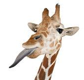 Somali zürafa, retiküle zürafa, zürafa zürafa reticulata, 2 buçuk yıllık bilinen karşı beyaz arka planı kapat — Stok fotoğraf