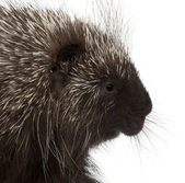 North American Porcupine, Erethizon dorsatum, also known as Canadian Porcupine or Common Porcupine against white background — Stock Photo