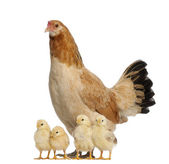Hen with its chicks against white background — Stockfoto