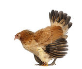 Hen protecting its chick against white background — Stock Photo