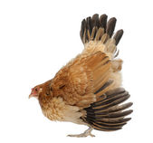 Hen in defensive posture against white background — Stock Photo