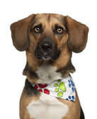 Dog, cross breed with a beagle, 2 years old, wearing neckerchief against white background — Stock Photo
