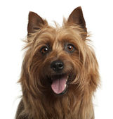 Australian Terrier, 8 years old, against white background — Stock Photo