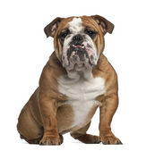 English Bulldog, 10 months old, sitting against white background — Stock Photo