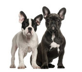 French bulldog puppies, 4 months old, sitting against white background — Stock Photo
