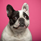 French Bulldog, 5 years old, against pink background — Stock Photo